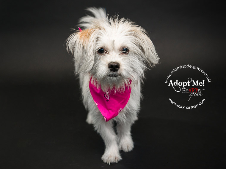 CASSIDY - ID#A1564944 I am a female, white and tan Terrier mix. The shelter staff think I am about 1 year old I have been at the shelter since Oct 23, 2013.