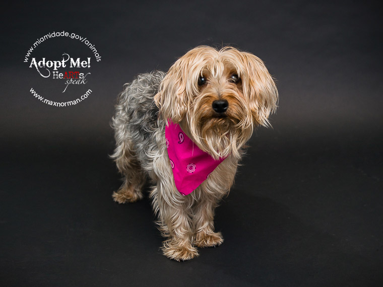 Da dum da dum da dum da dum! THOR - ID#A1565424 I am a male, tan and black Yorkshire Terrier. The shelter staff think I am about 2 years old I have been at the shelter since Oct 24, 2013.