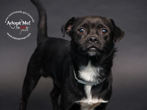 BOBBY - ID#A1564986 I am a male, black and white Pug mix. The shelter staff think I am about 1 year old I have been at the shelter since Oct 23, 2013.