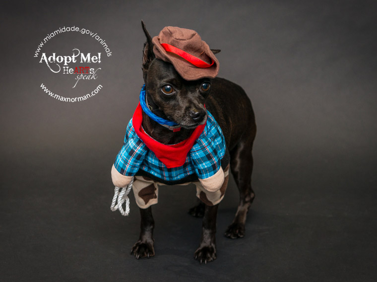 Howdy partner! SEYMOUR - ID#A1044486 I am a neutered male, black Miniature Pinscher. The shelter staff think I am about 5 years old I have been at the shelter since Oct 28, 2013.