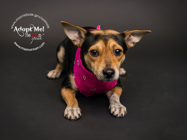 DONNIE - ID#A1565106 I am a male, black and brown Terrier mix. The shelter staff think I am about 2 years old I have been at the shelter since Oct 24, 2013.