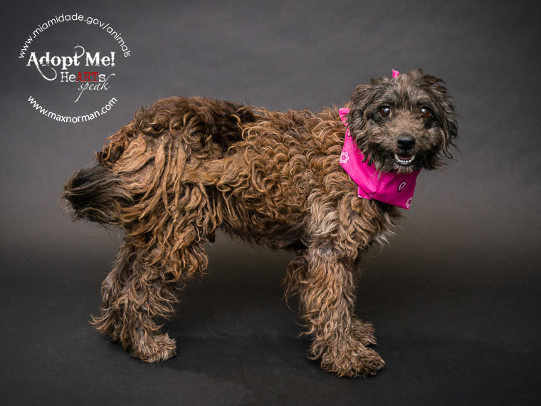 DENISE - ID#A1567060 I am a female, chocolate Poodle - Standard mix. The shelter staff think I am about 2 years old I have been at the shelter since Oct 29, 2013.