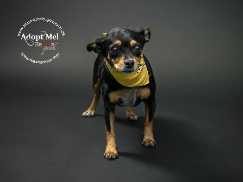 EMMA - ID#A1573436 I am a female, black and brown Chihuahua - Smooth Coated. The shelter staff think I am about 6 years old I have been at the shelter since Nov 17, 2013.