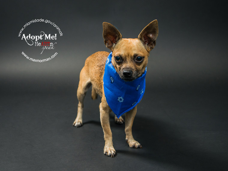 PAPI - ID#A1571443 I am a male, brown Chihuahua - Smooth Coated. The shelter staff think I am about 4 years old I have been at the shelter since Nov 09, 2013. — at Miami Dade County Animal Services.