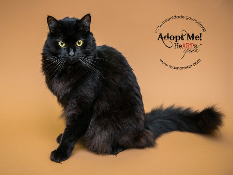 SNOWFLAKE - ID#A1567062 I am a neutered male, black Domestic Longhair. The shelter staff think I am about 2 years old I have been at the shelter since Nov 13, 2013.