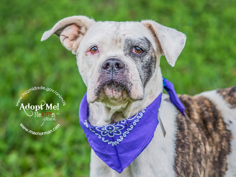 DAISY - ID#A1584046 I am a female, brown brindle and white American Bulldog. The shelter staff think I am about 3 years old.