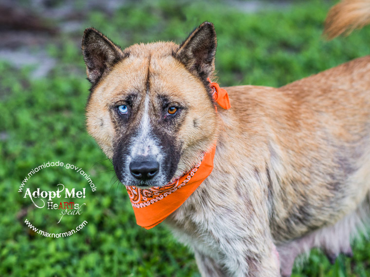 FLOR - ID#A1582277 I am a female, tan and brown Chow Chow mix. The shelter staff think I am about 5 years old I have been at the shelter since Dec 18, 2013.