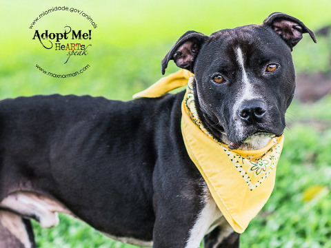 JOKER-ID#A1585701 I am a male, black and white Pit Bull Terrier mix. The shelter staff think I am about 1 year and 6 months old I have been at the shelter since Jan 07, 2014.