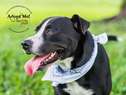 MARIO-ID#A1586060 I am a male, black and white Mastiff mix. The shelter staff think I am about 2 years old I have been at the shelter since Jan 08, 2014.