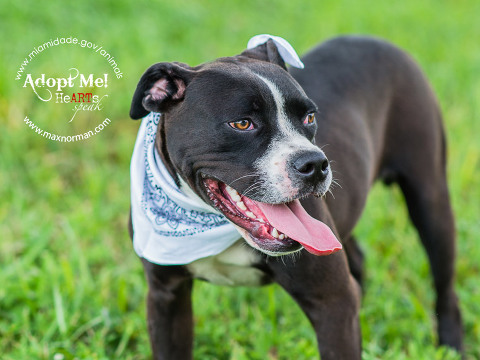 NIGEL-ID#A1586927 I am a male, black and white American Bulldog and Boxer. The shelter staff think I am about 8 months old I have been at the shelter since Jan 12, 2014.