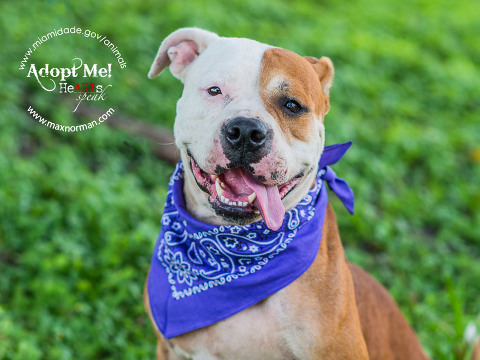 HATCHET - ID#A1502981 I am a female, brown and white American Bulldog. The shelter staff think I am about 2 years old I have been at the shelter since Jan 13, 2014.