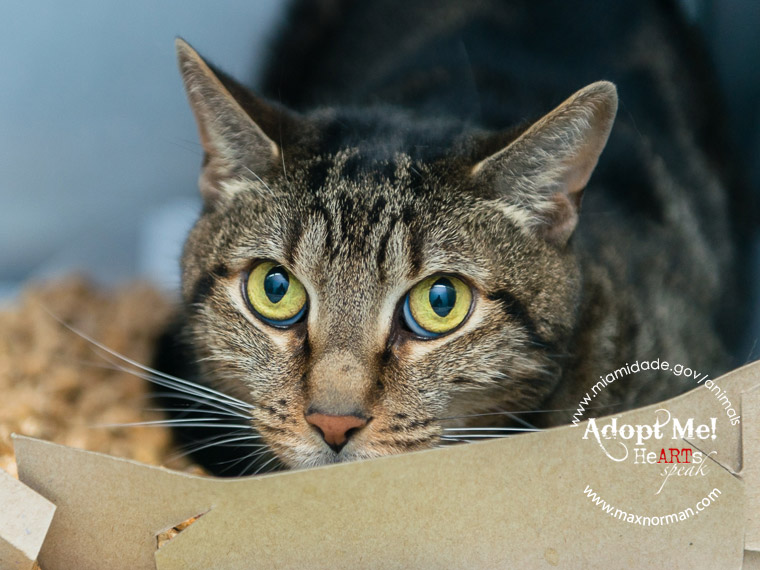 LENNY - ID#A1584953 I am a neutered male, brown tabby Domestic Shorthair. The shelter staff think I am about 7 years old I have been at the shelter since Jan 04, 2014.