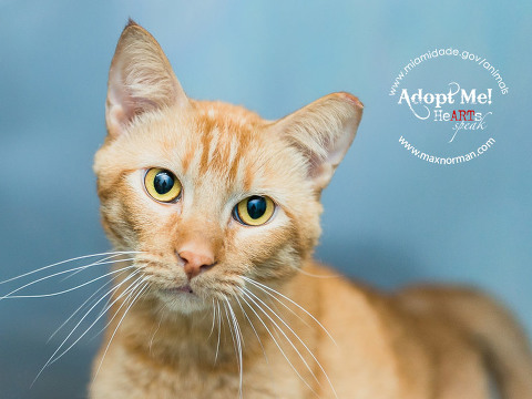 LUCKY - ID#A1585572 I am a neutered male, orange tabby Domestic Shorthair. The shelter staff think I am about 2 years old I have been at the shelter since Jan 07, 2014.