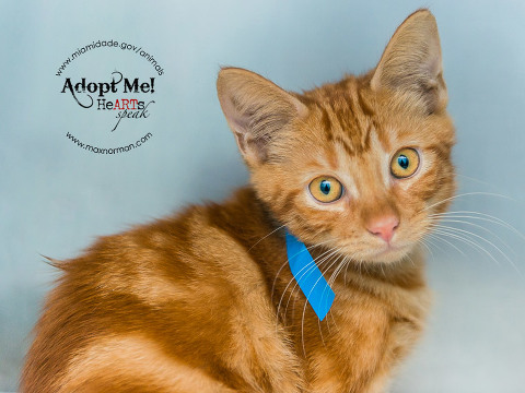 RED - ID#A1586622 I am an unaltered male, orange tabby Domestic Shorthair. The shelter staff think I am about 14 weeks old I have been at the shelter since Jan 11, 2014.