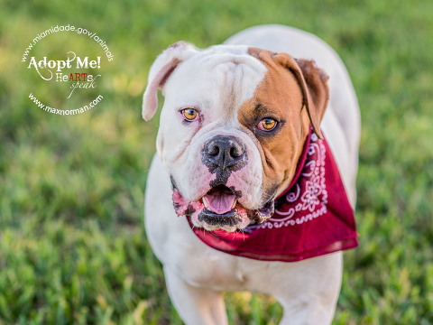 BRUCE - ID#A1587180 I am a male, white and brown American Bulldog. The shelter staff think I am about 3 years old I have been at the shelter since Jan 13, 2014.