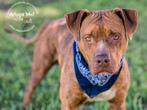 MACK - ID#A1585314 I am a male, brown American Bulldog. The shelter staff think I am about 5 years old I have been at the shelter since Jan 06, 2014.