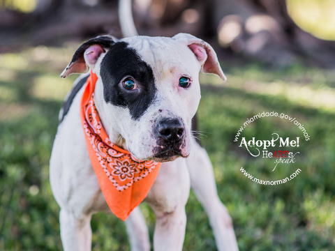 SCOTT - ID#A1586707 I am a male, white and black American Bulldog. The shelter staff think I am about 2 years old I have been at the shelter since Jan 11, 2014.