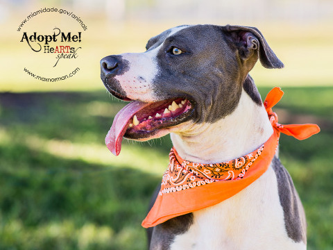 CHUCK - ID#A1586407 I am a male, blue and white Bulldog mix. The shelter staff think I am about 1 year old I have been at the shelter since Jan 10, 2014.