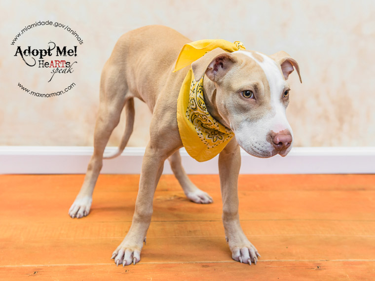 VANITY - ID#A1590777 I am Missy's daughter. I am a female, fawn American Bulldog mix. The shelter staff think I am about 4 months old I have been at the shelter since Jan 28, 2014.