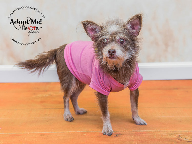 MAGGIE - ID#A1590029 I am a female, tan and brown Chihuahua - Long Haired. The shelter staff think I am about 10 years old I have been at the shelter since Jan 25, 2014.