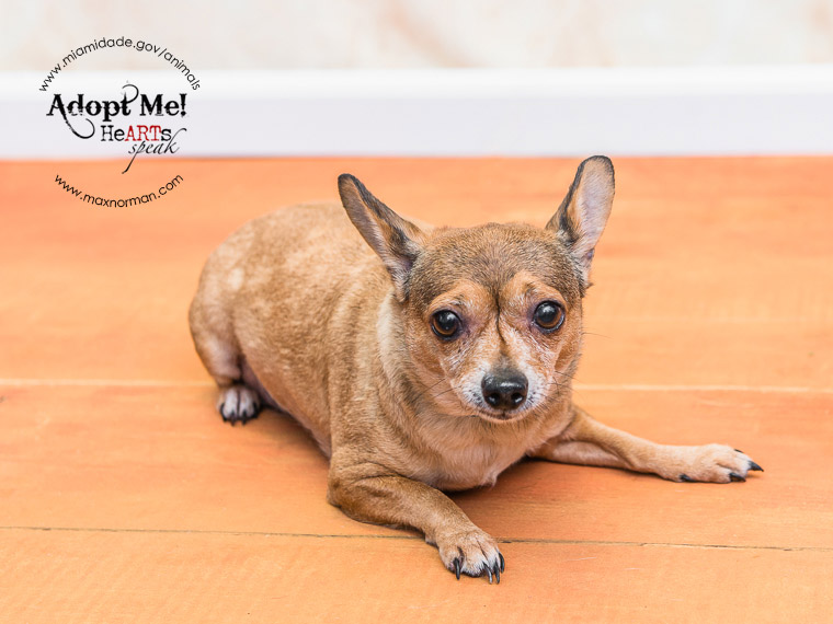 SUSY - ID#A1590030 I am a female, tan and brown Chihuahua - Smooth Coated. The shelter staff think I am about 3 years old I have been at the shelter since Jan 25, 2014.
