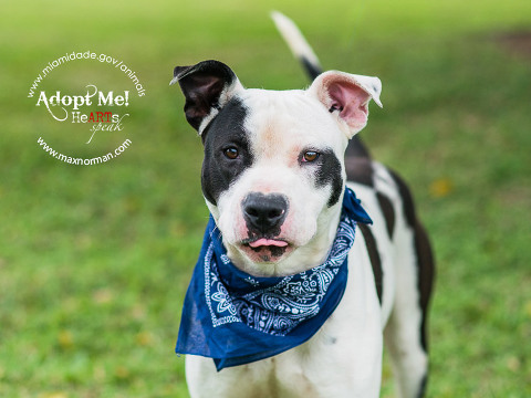 MIKE - ID#A1597121 I am a male, white and black American Bulldog. The shelter staff think I am about 2 years old I have been at the shelter since Feb 25, 2014.
