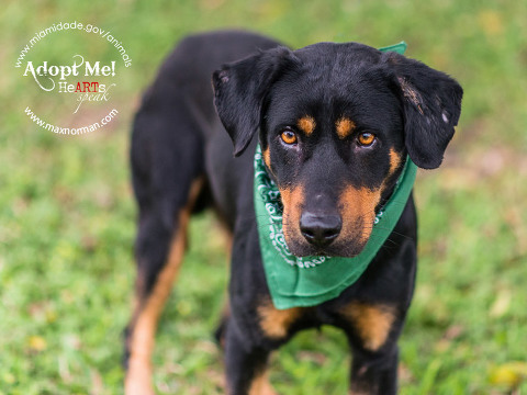 RICKEY - ID#A1597955 I am a male, black and brown Rottweiler. The shelter staff think I am about 1 year and 7 months old I have been at the shelter since Feb 28, 2014.