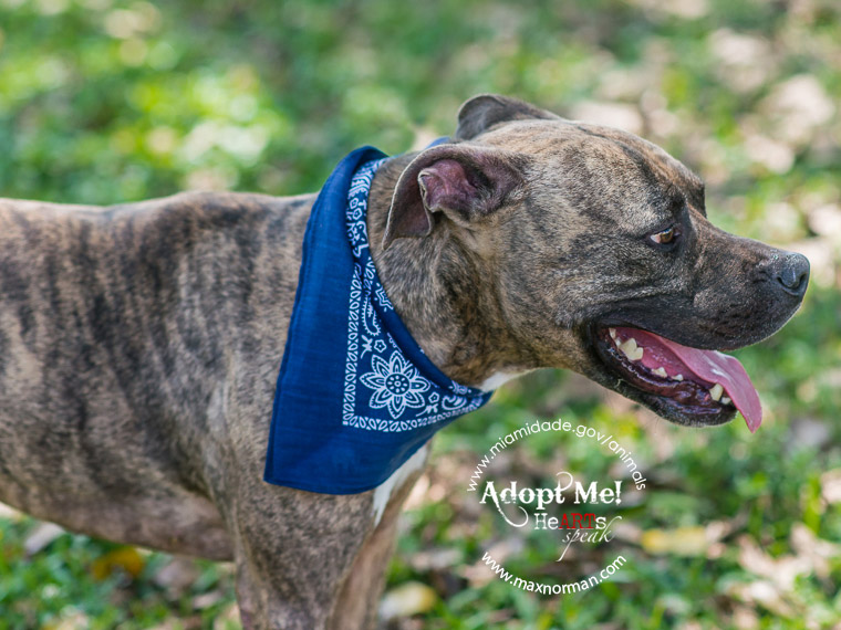 BISON - ID#A1596577 I am a male, brown brindle and white Labrador Retriever mix. The shelter staff think I am about 1 year and 7 months old I have been at the shelter since Mar 07, 2014.