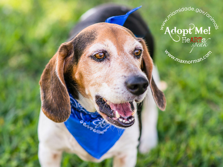 MAC - ID#A1085965 I am a male, tricolor Beagle. The shelter staff think I am about 5 years old I have been at the shelter since Apr 19, 2014.