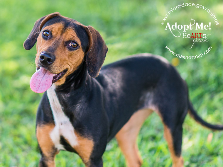 LANA - ID#A1609229 I am a female, black and brown Beagle mix. The shelter staff think I am about 2 years old I have been at the shelter since Apr 19, 2014.