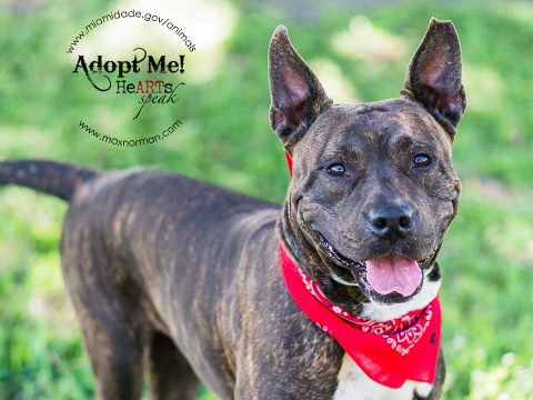 MELONIE - ID#A1608292 I am a female, brown brindle Pit Bull Terrier mix. The shelter staff think I am about 3 years old I have been at the shelter since Apr 15, 2014.