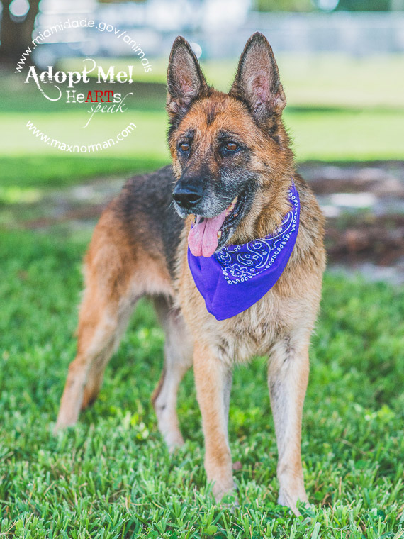 GYSPY - ID#A1641122 I am a female, brown and black German Shepherd Dog. The shelter staff think I am about 8 years old I have been at the shelter since Sep 04, 2014.