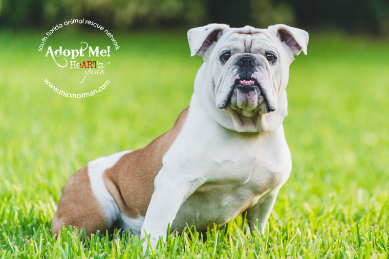 This is Bruce. Male, neutered English bulldog. Approximately 4 years old. Good with older kids, dogs and cats. Very playful. Located in Miami. Contact sfarninc@gmail.com to foster or adopt.